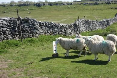 sheep with sign 1